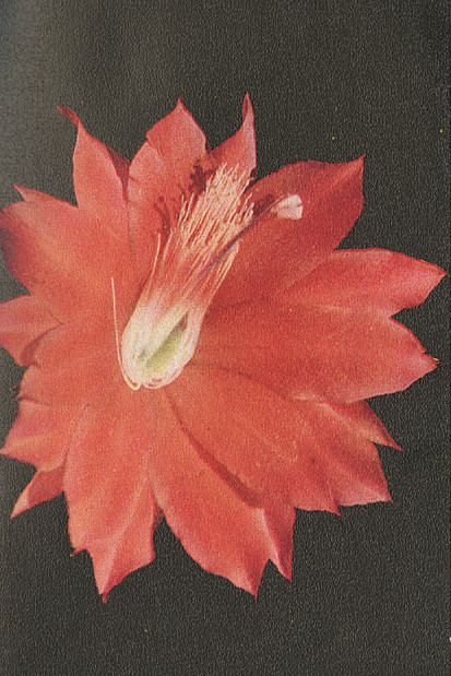 A Typical Cactus Flower