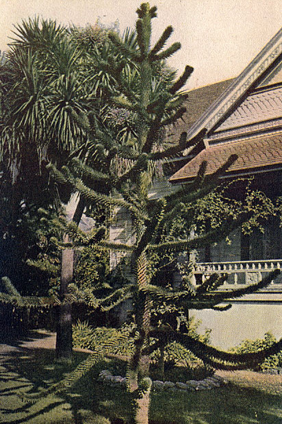 The Monkey-Puzzle Tree