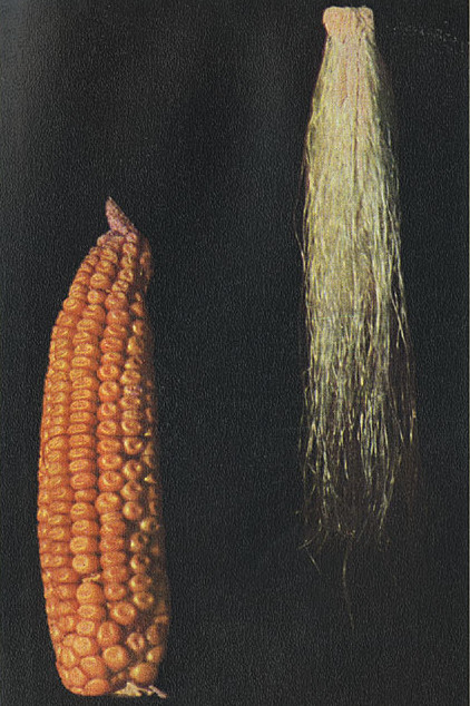 An Experiment in Corn