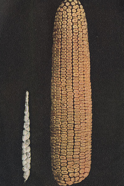 Some Other Forms of Corn