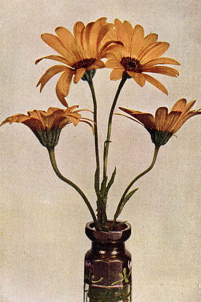 The African Orange Daisy