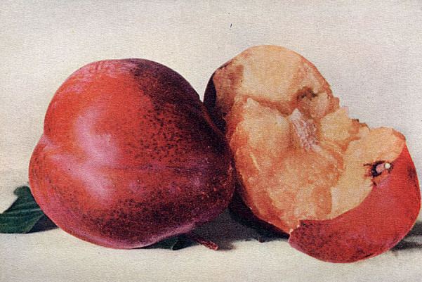 A Typical Burbank Plum