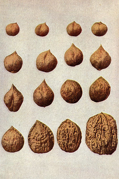 Variations in Walnuts