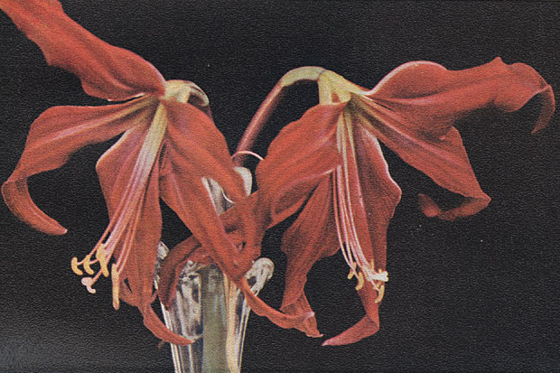 The Amaryllis as Improved