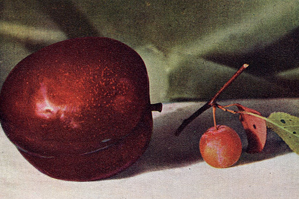 A Burbank Plum and Its Wild Ancestor