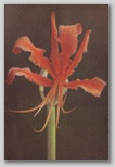 A Chinese Lily