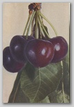 The Improved Giant Cherry